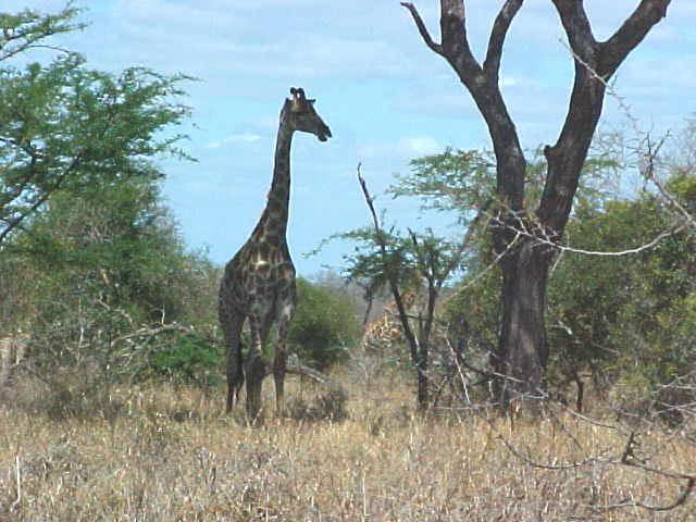 And just before arriving at the Honeyguide Camp site, the driver stopped for this giraffe.