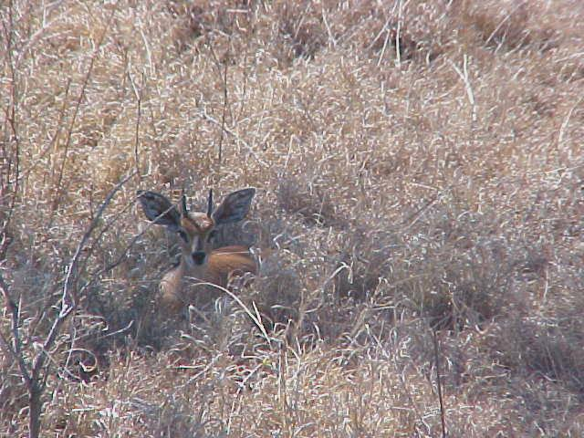 First sighting: the very shy steenbuck, hiding in the shade.