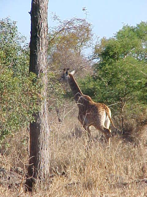 And a young giraffe runs back to her mother after seeing us pass.