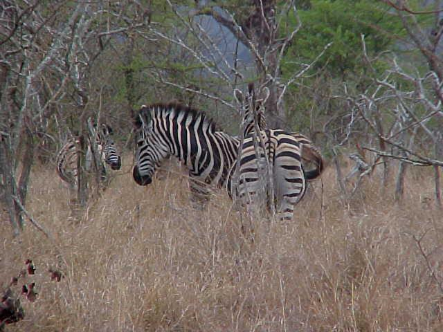 Strange view huh? Coffee drinking humans in the middle of nothing... The zebras were the witnesses to our civilisation.