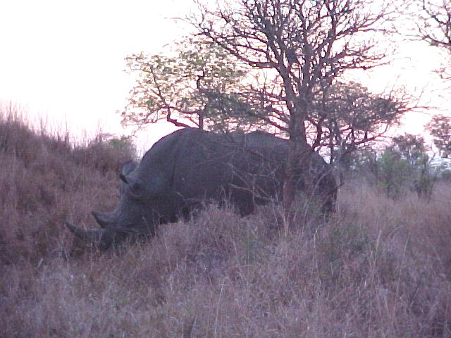 I had not seen a rhinoceros in wild before, and WITH his horn.