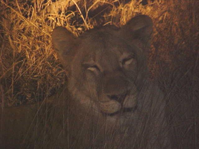 That is how we suddenly bumped into this young lion, hungry and left by the mother.
