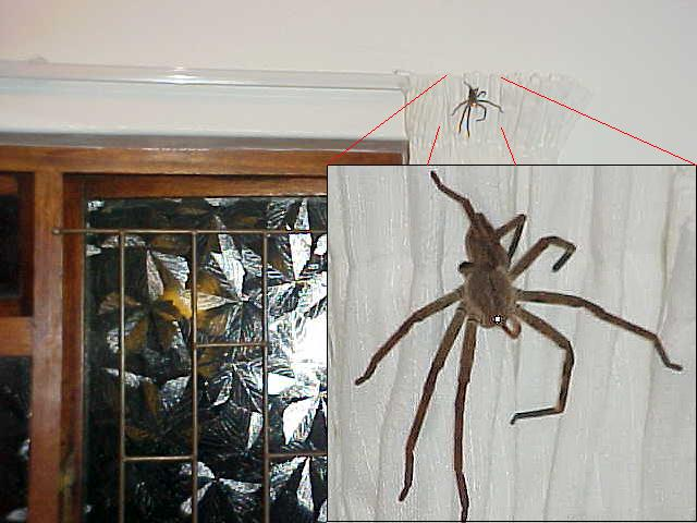 Later this night, Suzie frightened after seeing this little hairy spider on the bathroom window curtain... Aint it cute?