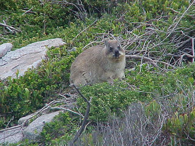 At Stony Point this dassy passed our path and just stared back at us. Aint it cute?