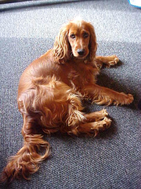 Hey, dog Goldi online!