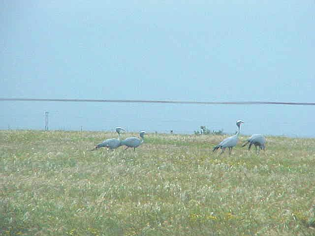 And on the road I saw those Blue Crane birds again...