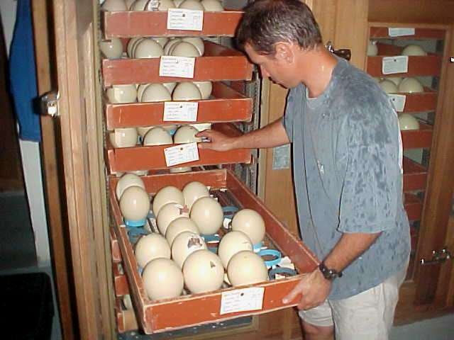 But at his ostrich eggs hatchery Marius showed me the cabinets where the eggs are about the hatch.