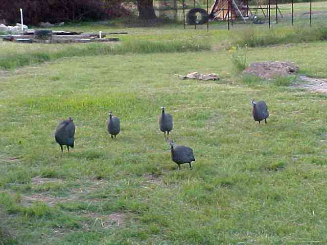 And the field was full of them. What was their name? Guineafells or something?