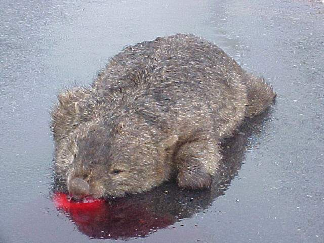 And unfortunately some wombats get run over by traffic.