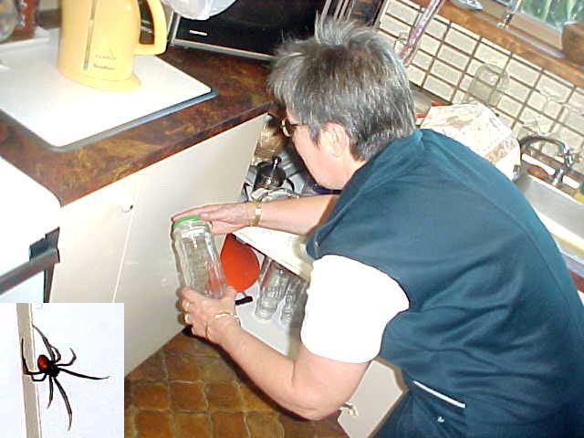 Carol captures a hazardous redback spider in the kitchen.