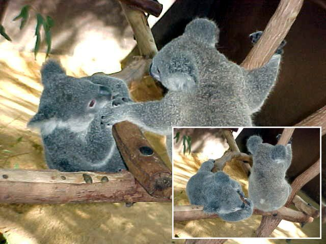 Koala A needs a hand from Koala B.  - Ooh! Thanks, I almost fell down the tree!