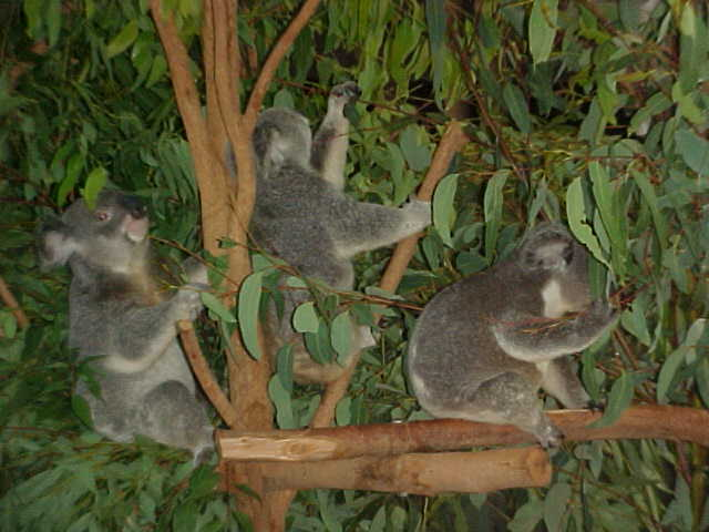 Imagine them singing: In the jungle, the mighty jungle, the koala sleeps tonight... Oowaaah!
