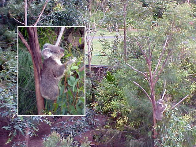 The Lone Park Koala Sanctuary also has a real wild life park, where you walk over on a bridge. The koalas here live like in real nature and are surrounded by different other animals.