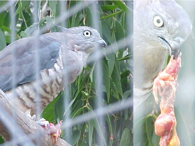 As seen through the wire of the gate. Birdie gets fed...