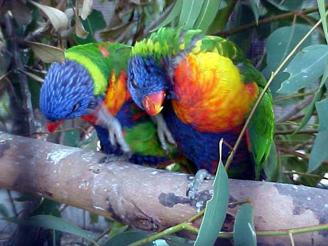Colourful Lorikeets through the wires of the cage. They seemed to imitate each other all the time.