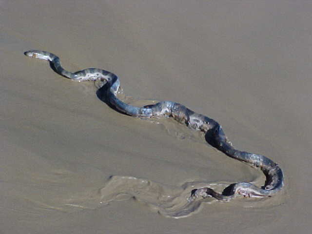 Along the beach: sea snake.