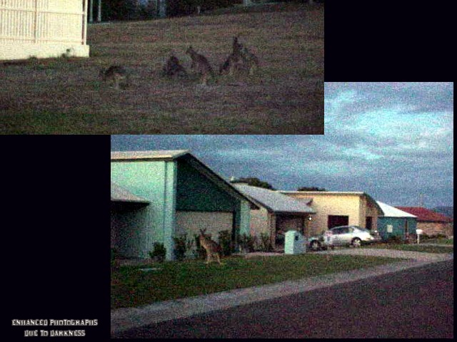 The sun had just gone done, when Sandra pointed out those wild kangaroos, enjoying life on the streets.