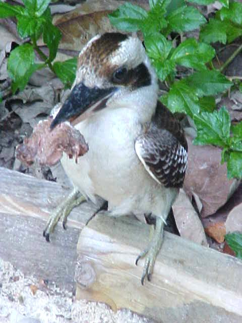 The noisy kookaburra bird is a close compagnion on the island. They almost like tame, like this one who seems to have caught some... beef?