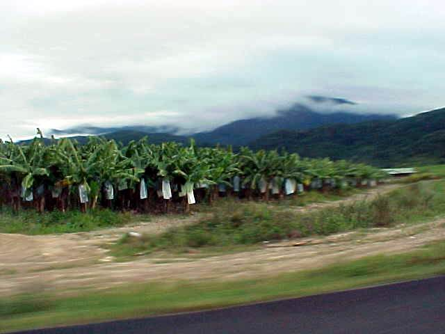 But there were endless green fields with sugar cane and, like here, banana plantations. The bananas are covered in plastic to keep birds and snakes away from them.