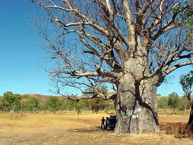 An example of a boab tree, which are filled up with pure fresh water. When they die the tree is hollow in the middle. In the past these trees were used to dump some 25 Aboriginal people in it and use the tree as a prison...