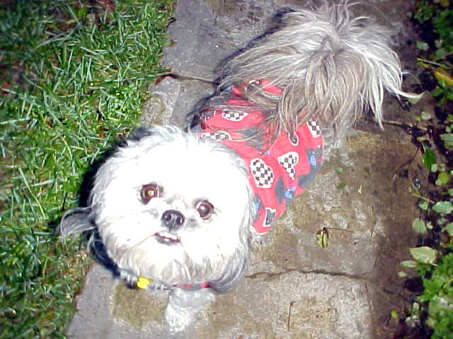 Meat, no meet the little and lovely oh so cute Sasha, wearing a shirt against the cold.