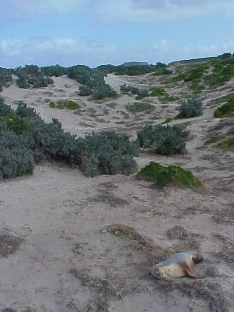 Seal life in the dunes of Sealbay. The paths you see are all created by seals.