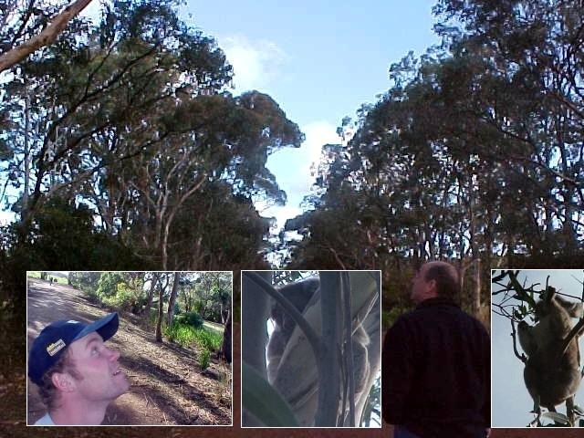 A look at koalas at a typical koala corridor.