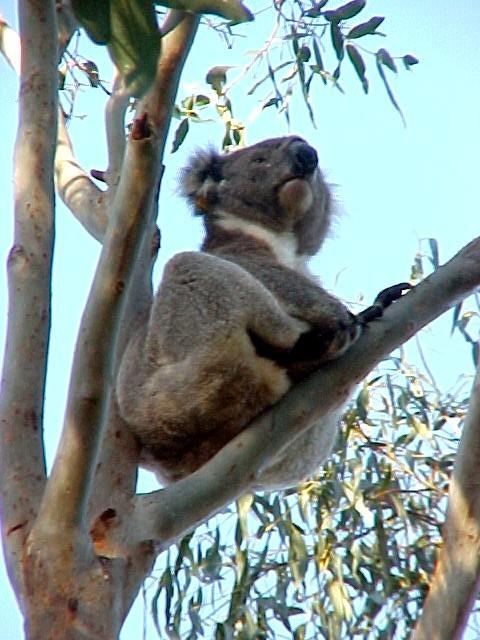 Finally found a koala bear that is awake!