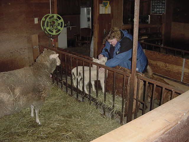 Ann showed me around the shed. Oh, look at those cute little lamb!