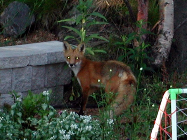 I was still sleeping, but Lise took this photo of this fox in their back garden. Just sniffing around...