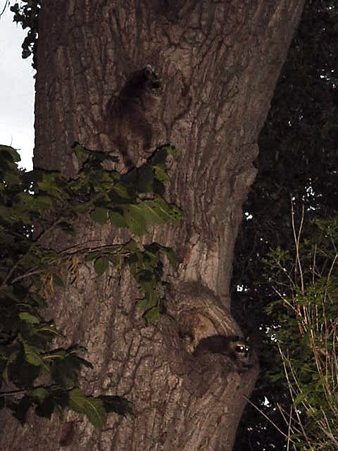 On our way to the city centre, we see these lovely racoons walking around on this tree. Beautiful!