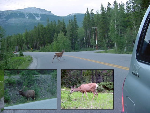 On the road I saw some of the magnificient Canadian wildlife. I could catch the two coyotes, but I can tell you that deer was actually chasing them. First in front of the car, from one side of the road to the other. And then back again, behind the car. Amazing!